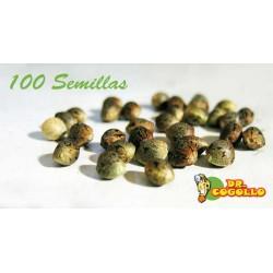 Pack de 100 Semillas a Granel Feminizadas