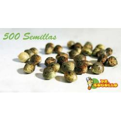 Pack de 500 Semillas a Granel Feminizadas