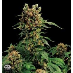 California Hash Plant (10uni)