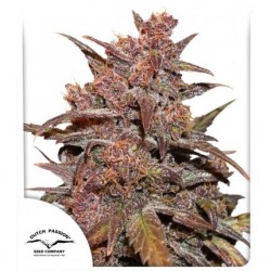 CBD Auto Blackberry Kush®